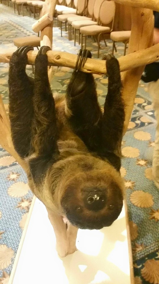 Aspen the sloth